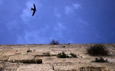 Swifts bird at Western Wall - Photo: Marc Israel Sellem