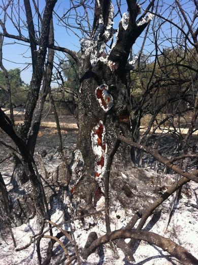 Embers burn inside a tree near Jerusalem (Photo: Seth Frantzman)