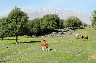 Cows of Bashan (BiblePlaces.com)
