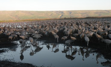 35,000 cranes at Agamon Lake in Hila valley