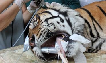 Pedang being treated at Ramat Gan Safari.