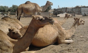 Camels at the Bereshit Ranch (Mickey Shem)