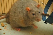 Palestinians: Israel uses rats against J'lem Arabs
