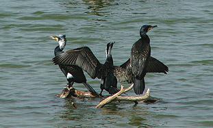 Cormorants in the Kishon River.