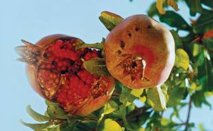 POMEGRANATES, ONE of the Seven Species. 'Food, the staff of life, is an interesting and valid expres