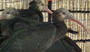 Three juvenile northern bald ibis birds fitted with solar satellite transmitters.