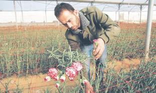 Gazan farmer collects carnations near Rafah