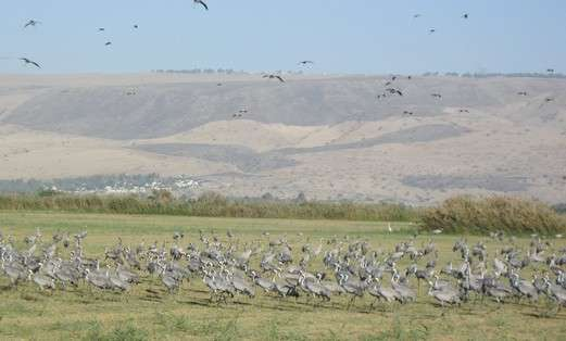 European cranes at Agmon Hula