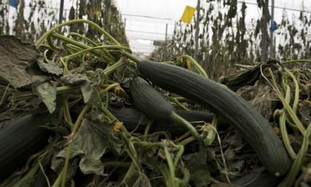 Destroyed cucumbers in a greenhouse in Spain.