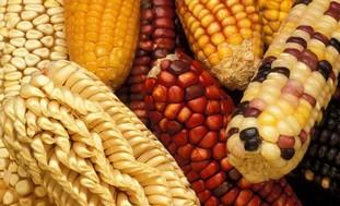 Various corn varieties