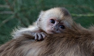 Capuchin Monkey born in Ramat Gan