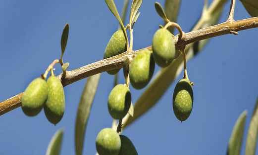L'huile d'olive : une denrée précieuse