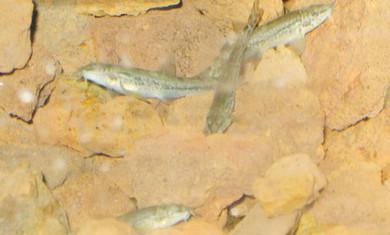 Nemacheilus dori fish