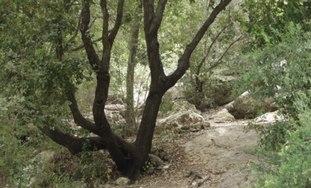 Oak tree in Galilee