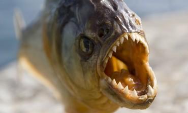 A Piranha [illustrative photo]