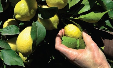 A woman picks lemons from a tree (Lemon Tree)