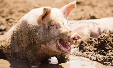 Pig wallowing in mud