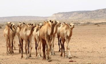 Camels near Mogadishu