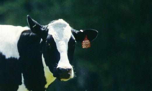 Cows distinguished for milk producing capacity