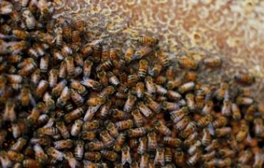 Honey bees in Israel