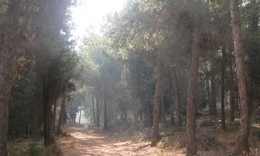 TREES IN Jerusalem's Har Adar forest