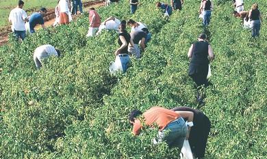 Leket volunteers pick unsellable crops.