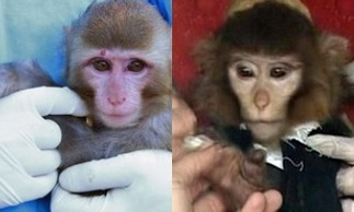 Before (left) and after (right) photos of Iranian monkey