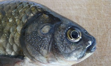 A Prussian carp caught in Ukraine