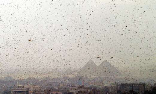 SWARMS OF locusts obscure the Giza pyramids in Egypt in 2004.