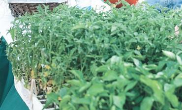 Greens on sale at Beersheba's Ecotopia