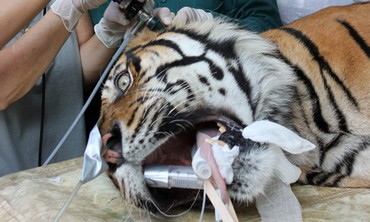 Pedang being treated at Ramat Gan Safari.
