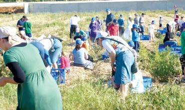 VOLUNTEERS HARVEST vegetables used in a sandwich program for needy children.