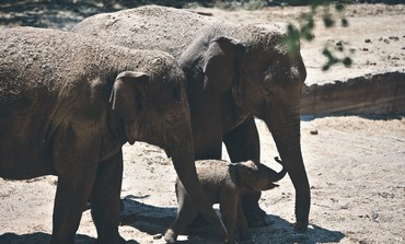 A new-born Asian elephant