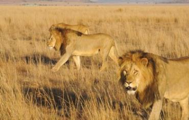 Lions roam in the Nambiti Private Game Reserve.