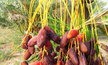 Enormous dates of the