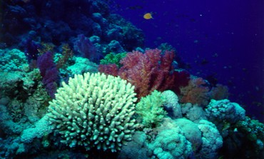 Coral reefs in the Gulf of Aqaba.