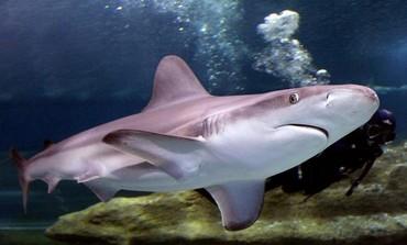 Shark swims in Mediterranean [file]