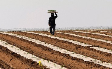 A THAI laborer works in a watermelon field near Sderot