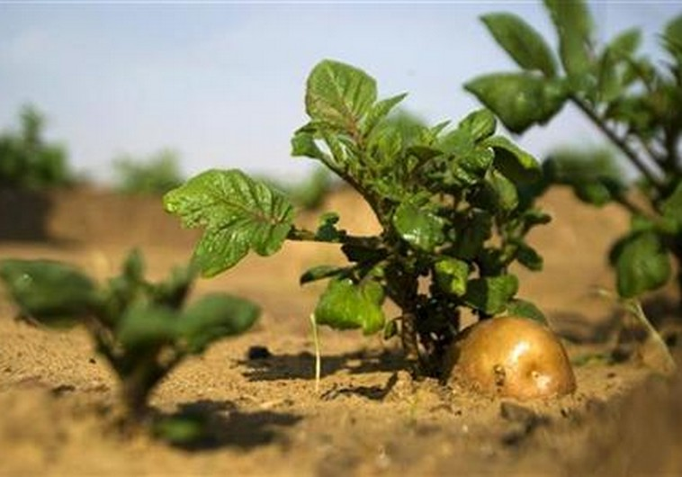 A potato grows in a field irrigated by recycled waste water in Kibbutz Magen in southern Israel.