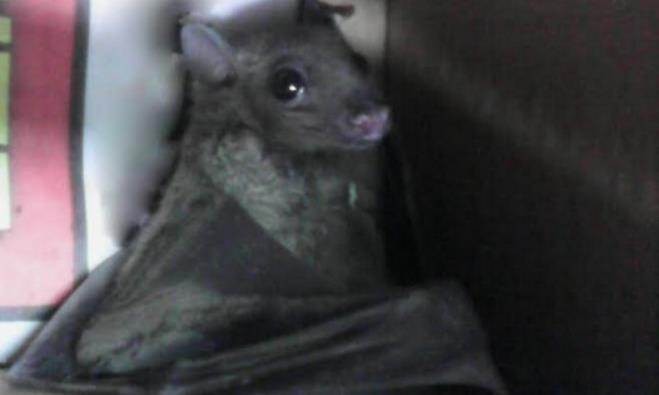 The bat saved by a Magen David Adom paramedic