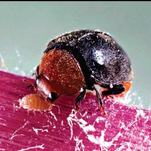 The mealybug ladybird