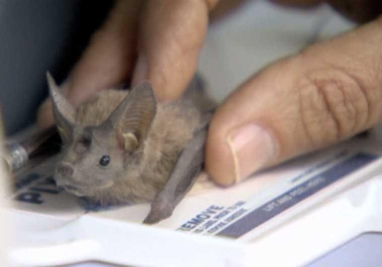 Bats in Israel