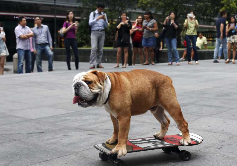 "Four-year-old British Bulldog ""Bobo"" skateboards past office workers during evening rush hour"