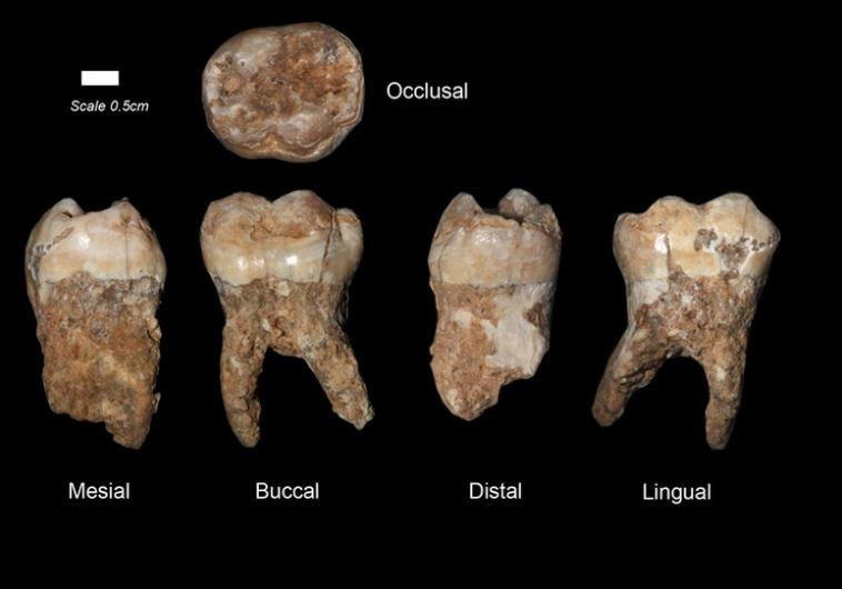 Researchers at Tel Aviv University discover 400,000 year old teeth