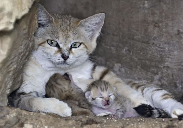 Rotem the sand cat with her babies