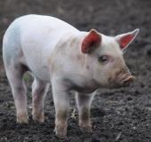 Pig netanyahu