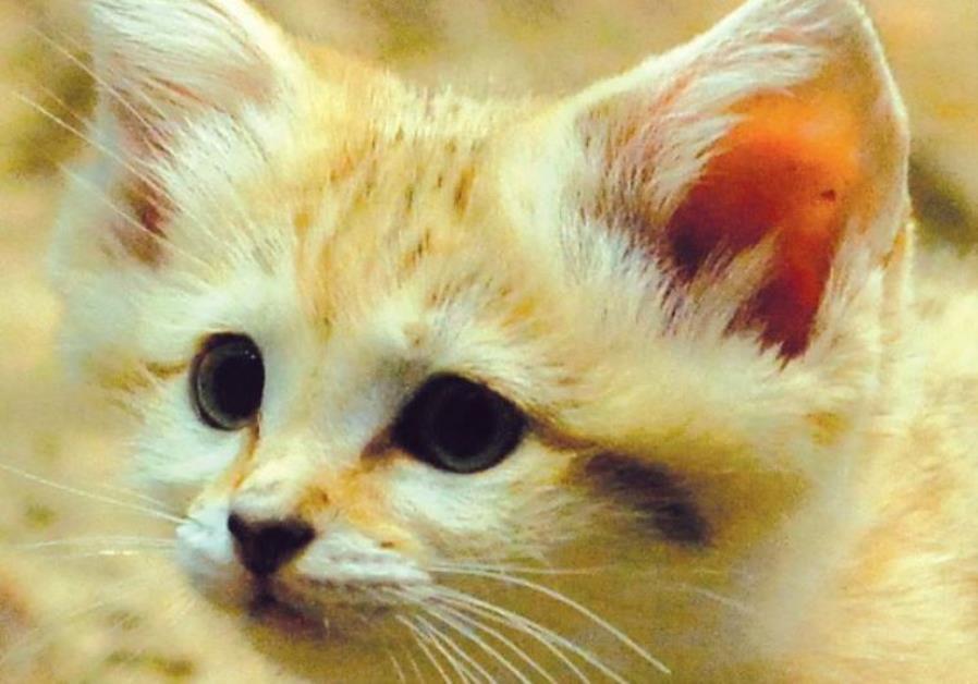 Sand cat Israel