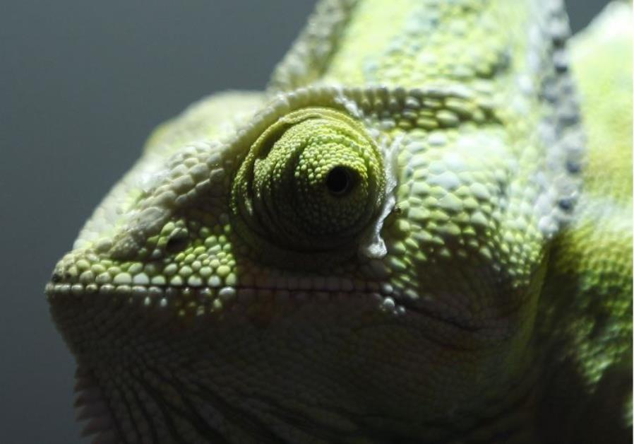 A chameleon is seen in a pet shop in Duisburg August 4, 2012