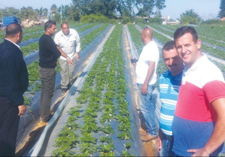 PALESTINIAN FARMERS visit an Israeli strawberry field
