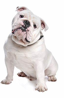 Best Dog Food For Bulldogs What Every Dog Owner Should Know